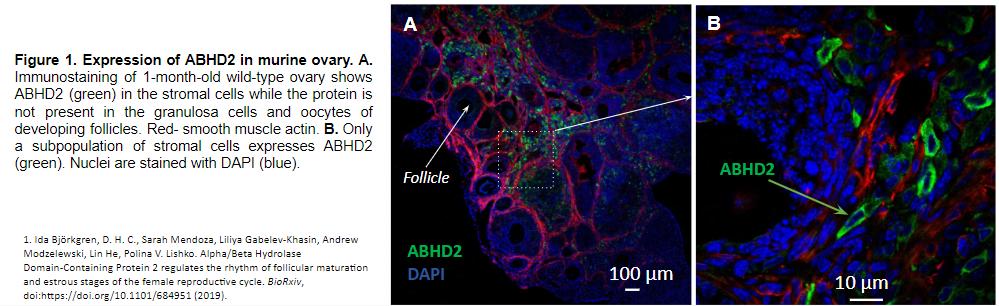 Ovarian ABHD2 Expression