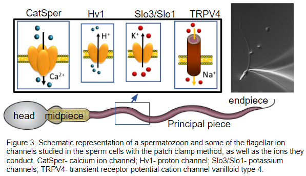 Sperm Ion Channels