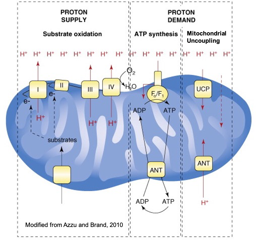 Mitochondrial Uncoupling Diagram