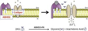 ABHD2 Mechanism